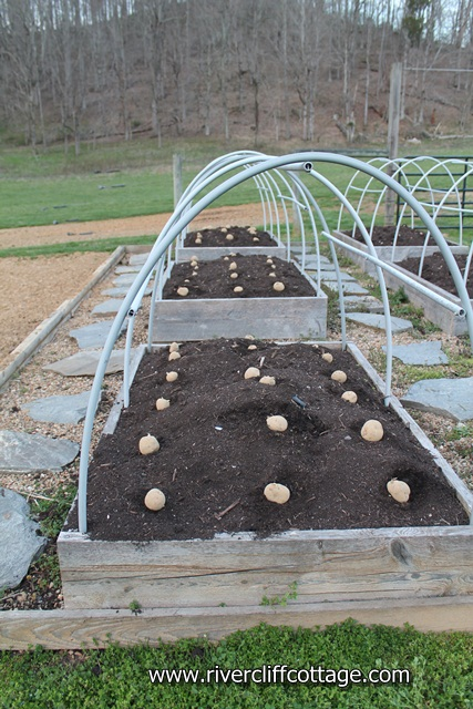 Potatoes Raised Bed