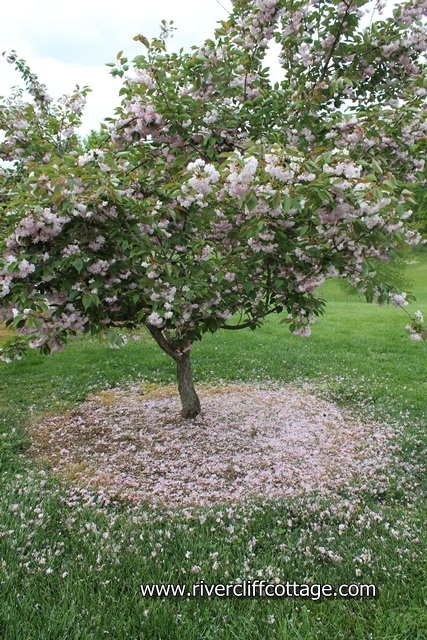 CHerry Tree Dandruff