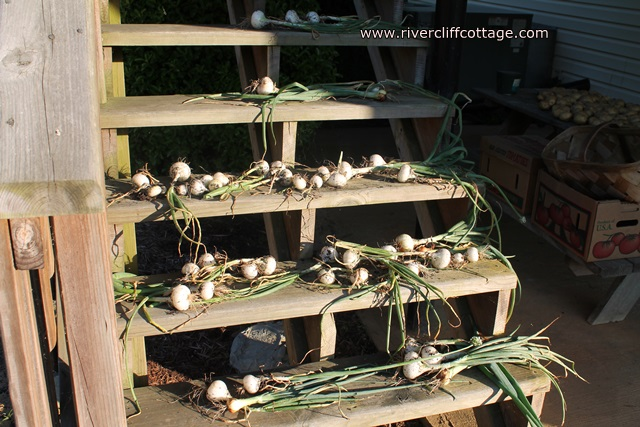 Onions White on Steps