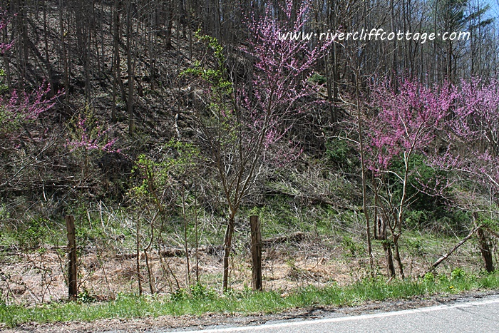 Red Bud 2