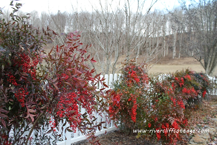 Winterberry By the Fence