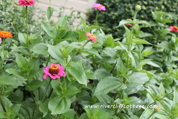 Zinnia even closer